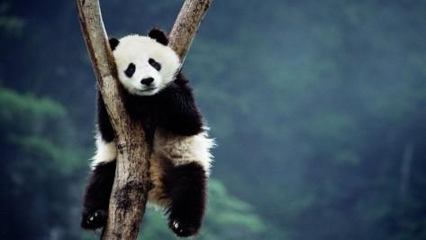 panda-sitting-on-a-tree-animal-hd-wallpaper-1920x1080-5509