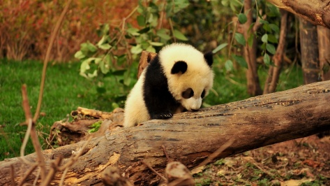 panda-trying-to-get-on-the-tree-animal-hd-wallpaper-1920x1080-21703
