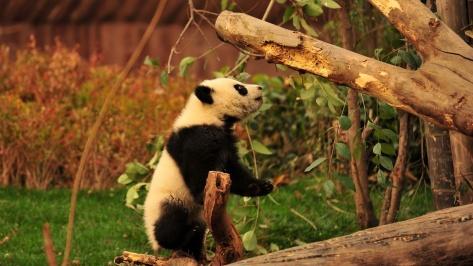 playful-panda-animal-hd-wallpaper-1920x1080-21702