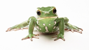 green-frog-animal-hd-wallpaper-1920x1080-34330